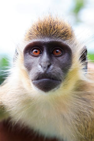 St Kitts wildlife: <strong>Vervet monkey</strong><br></br>These black-faced primates were bro