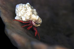 St Kitts wildlife: Hermit crabA red hermit crab feeds at night on Paradise Reef, in Old Road