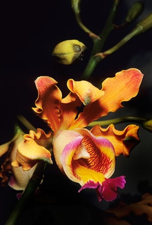 St Kitts wildlife: <strong>Orchid</strong><br></br>St Kitts is particularly rich in orchids.