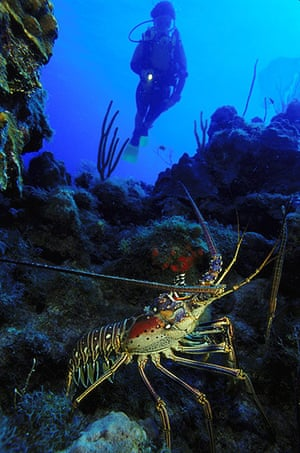 St Kitts wildlife: <strong>Spiny lobster</strong><br></br>A Caribbean spiny lobster emerges a
