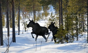 Moose in Swedish forest