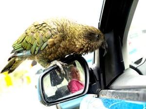 Been there photo comp Nov: Kea bird attacking car