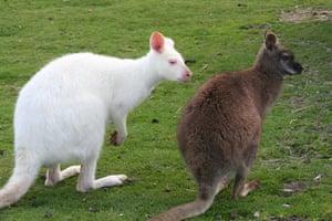 Been there photo comp: Albino kangaroo