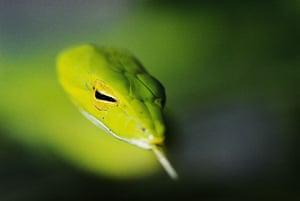 Mattias Klum gallery: Green whipsnake, Danum Valley, Borneo