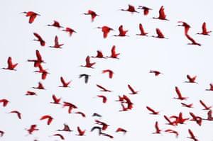 Mattias Klum gallery: Red Ibises, Venezuela