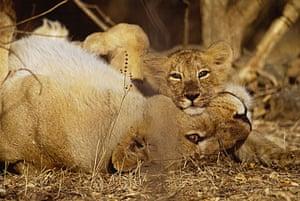 Mattias Klum gallery: Asiatic lioness and cub, Sasan Gir, India