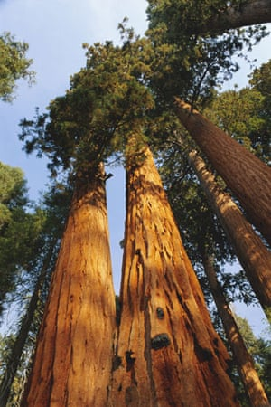 US National Parks: Giant sequoia tree, Sequoia National Park, California, USA, North America