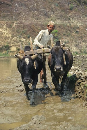 Great Himalayan Trail: Ploughing the fields in the Annapurna region