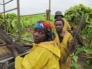 August Been there comp: Tobacco reapers in Zambia