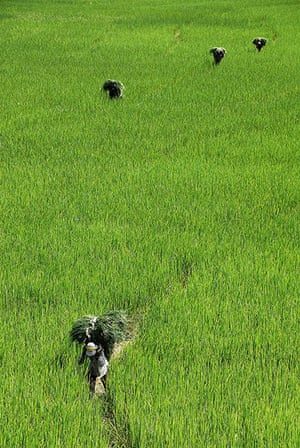 Been there: green: Green: rice paddies, Nepal