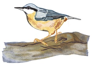 spotters guide birds: Nuthatch