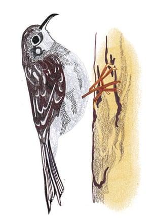 spotters guide birds: Treecreeper