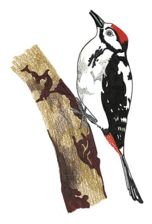 spotters guide birds: Great spotted woodpecker