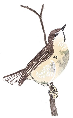 spotters guide birds: Willow warbler