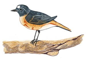 spotters guide birds: Redstart