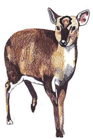 spotters guide deer: Muntjac