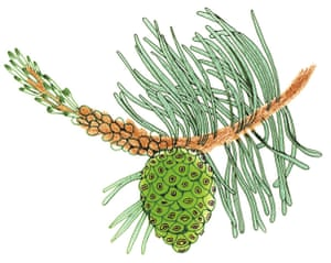 Spotters guide conifers: Scots pine