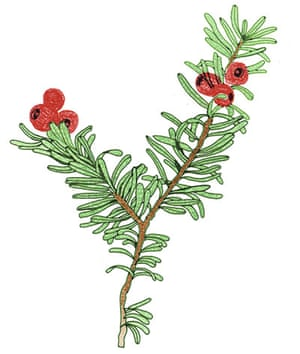 Spotters guide conifers: Yew