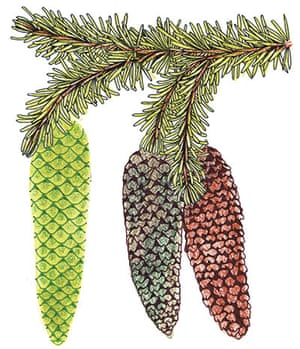 Spotters guide conifers: Norway spruce