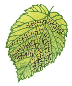 Spotters guide broad leaf: Hazel