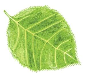 Spotters guide broad leaf: Beech