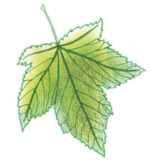 Spotters guide broad leaf: Sycamore