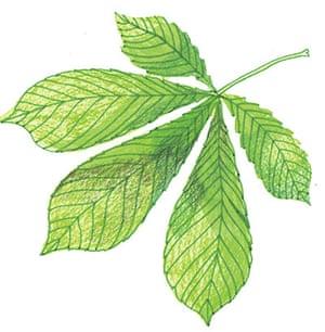 Spotters guide broad leaf: horse chestnut