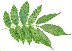 Spotters guide broad leaf: Ash
