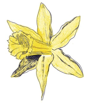 Spotters guide flowers: Wild daffodil