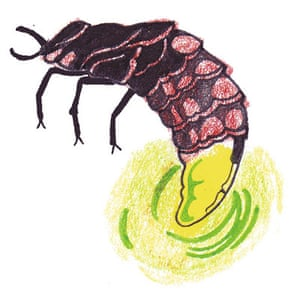 Spotters guide bugs: Glow-worm
