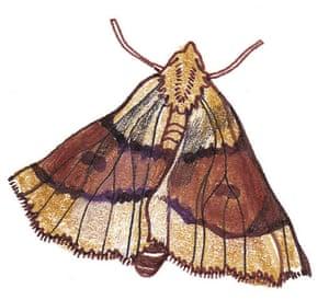 Spotters guide bugs: Scalloped oak moth