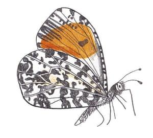 Spotters guide butterfly: Orange-tip
