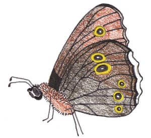 Spotters guide butterfly: Ringlet