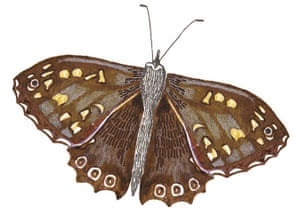 Spotters guide butterfly: Speckled wood