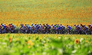 The pack ride past sunflowers during the
