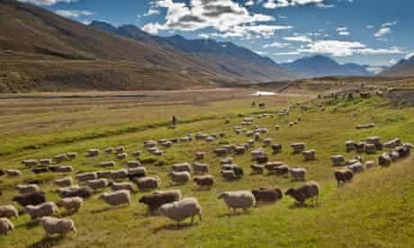 Sheep gathering in Iceland