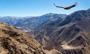 Condor flying above Colca Canyon, Peru