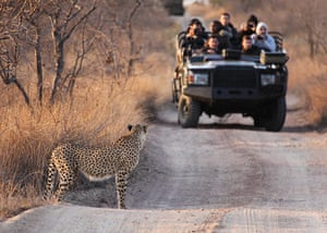 Ngala South Africa: Guests at Ngala get up close to a cheetah