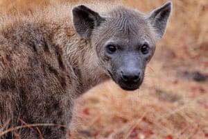 Ngala South Africa: Hyena at Ngala, South Africa