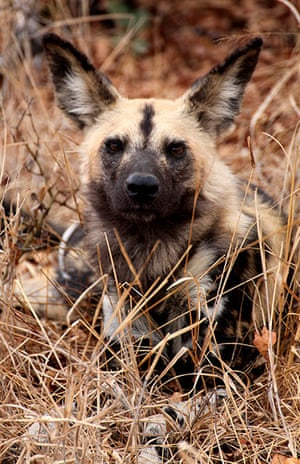 Ngala South Africa: Rare African wild dog in Ngala, South Africa