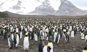 more than 100,00 penguins on Salisbury Plain, South Gerogia