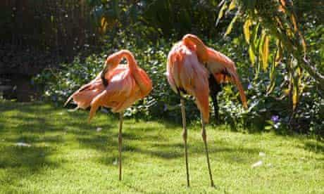 Pink flamingos at Paradise Park wild life sanctuary, Cornwall