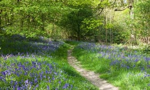 Bluebells in Newton Wood below Roseberry Topping, North Yorkshire