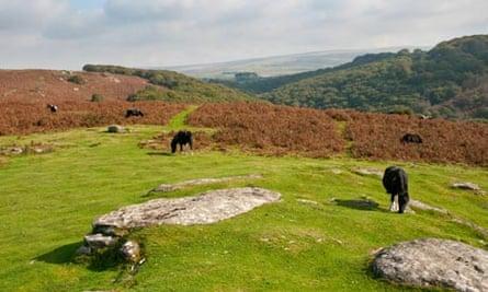 Ponies grazing at Dewerstone, Dartmoor, Devon