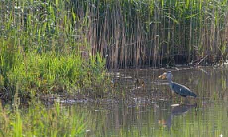 Grey heron in Teifi Marshes, Pembrokeshire