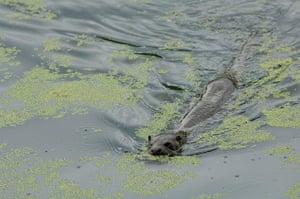Wales wildlife: Otter at Stackpole nature reserve, Pembrokeshire, Wales
