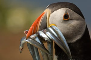 Wales wildlife: Puffin with sandeels in bill, Skomer Island, Pembrokeshire, Wales