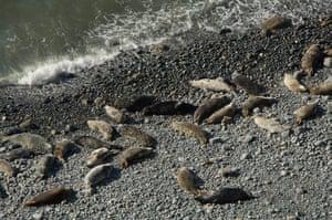 Wales wildlife: Atlantic grey seals, Traeth Godi'r Coch, Cemaes Head, Pembrokeshire, Wales