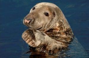 Wales wildlife: Seal, Marloes, Pembrokeshire, Wales