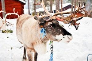 Sami Lapland: Reindeer